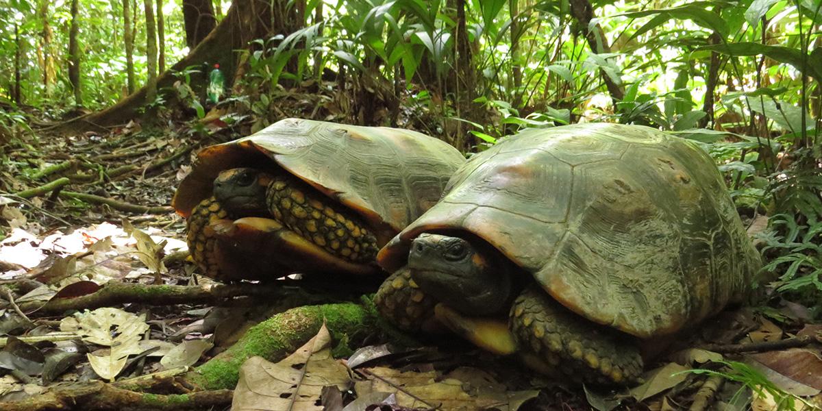 The yellow-footed tortoise (Chelonoidis denticulatus), also known as the Brazilian giant tortoise, can be found in the Amazon Basil of South America. (Photo credit: Thais Morcatty)