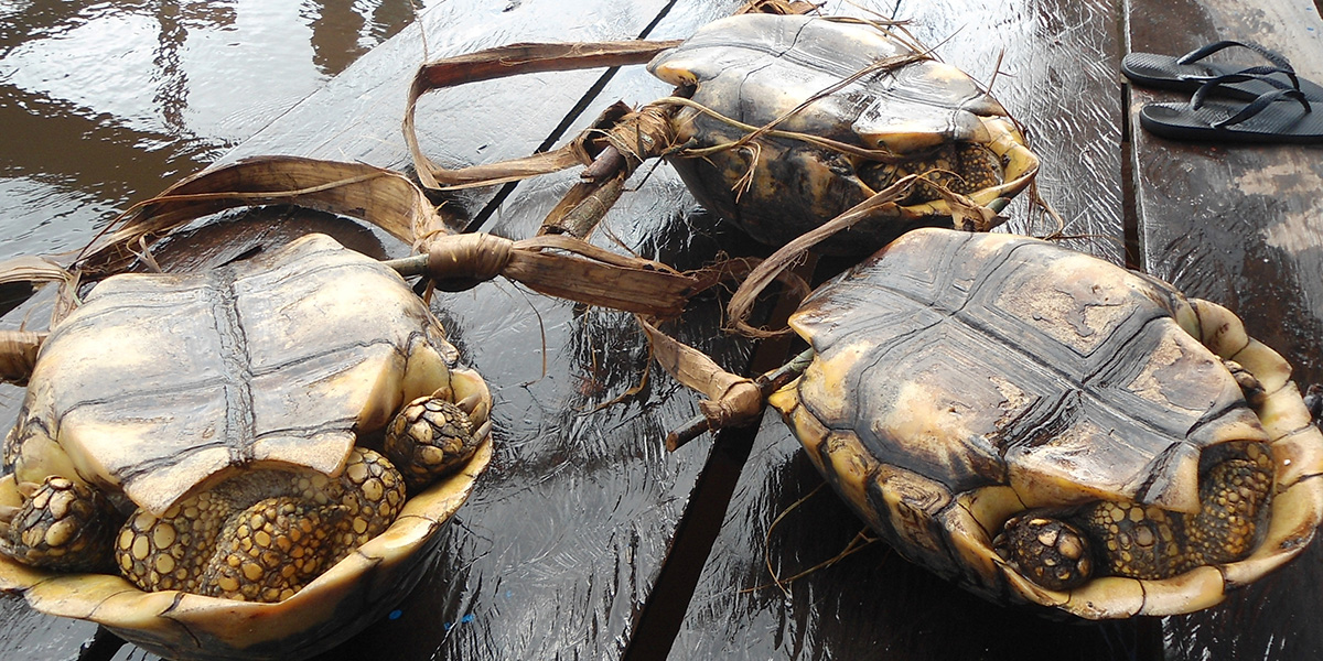 These yellow-footed tortoises have been captured for human consumption. (Photo credit: Thais Morcatty)